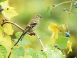 American Goldfinch in the Fall (Carduelis Tristis)  North America
