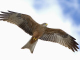 Yellow-Billed Kite in Flight  Milvus Aegyptius  Tanzania  Africa