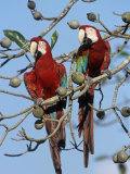 Green-Winged Macaw  Ara Chloroptera  Brazil  South America