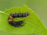 Royal Moth Second Instar Caterpillar (Citheronia Hamifera) Ecuador