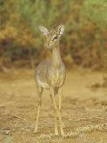 Guenther's Dik-Dik  Madoqua Guentheri  Samburu  Kenya  Africa