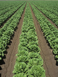 Lettuce Field  Lactuca Sativa  Arizona  USA