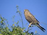 Greater Kestrel  Falco Rupicoloides  Namibia  Africa