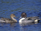 Northern Pintail Duck Pair on Water (Anas Acuta)  North America