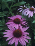 Purple Coneflowers (Echinacea Purpurea)  Eastern USA