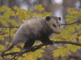 Opossum in a Tree in a Deciduous Forest  Didelphis Virginiana  USA