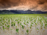 Afternoon Threatening Clouds Hang over a Hanalei Taro Field on Kauai  Hawaii  USA