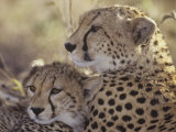 Cheetah Cub with its Mother  Acinonyx Jubatus  East Africa