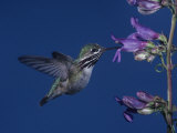 Calliope Hummingbird  Stellula Calliope  Feeding at a Flower
