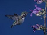 Calliope Hummingbird  Stellula Calliope  Feeding at a Flower
