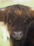 Scottish Highland Cattle Face