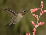 Anna's Hummingbird Male (Calypte Anna) Feeding at a Red Tubular Flower  Arizona  USA