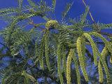Honey Mesquite Tree Flowers and Leaves  Prosopis Glandulosa Torreyana  California  USA