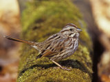 Song Sparrow (Melospiza Melodia) on a Mossy Log Eastern USA