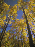 Fall Quaking Aspens  Populus Tremuloides  Colorado  USA