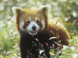 Red Panda (Ailurus Fulgens) an Endangered Species  Himalayas