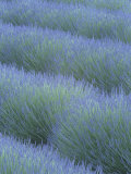 Pattern in Rows of Lavender  Avignon De Provence  France  Europe