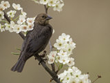 Female Brown-Headed Cowbird  Molothrus Ater  Among Crabapple Blossoms  North America