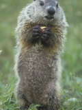 Woodchuck or Groundhog  Marmota Monax  Standing and Holding a Piece of Food  North America