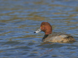 Redhead Duck Male on Water  Aythya Americana  North America