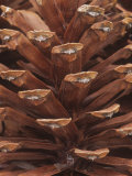Close-Up of a Mature Female or Seed Cone of the Longleaf Pine  Pinus Palustris  Southeastern USA