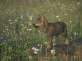 Gray Wolf Pup in a Meadow  Canis Lupus  North America