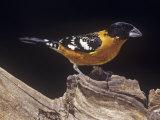 Black-Headed Grosbeak  Pheucticus Melanocephalus  Western United States