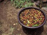 Coffee Bean (Coffea Arabica) Harvest  Costa Rica