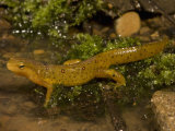 Red-Spotted Newt at the Edge of a Pond  Notophthalmus Viridescens  Eastern North America