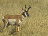 Male Pronghorn  Antilocapra Americana  North American Grasslands