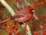 Male Northern Cardinal (Cardinalis Cardinalis) in a Hawthorn Tree (Crateagus)  North America