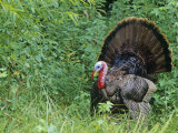A Male or Tom Wild Turkey Displaying  Meleagris Gallopavo  North America