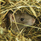 Brown Rat (Rattus Norvegicus) Head Poking Out from Hay