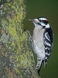 Downy Woodpecker (Picoides Pubescens)  Eastern USA