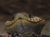 Close-Up of Eastern Hognose Snake  Heterodon Platyrhinos  Eastern USA