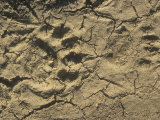 Black Bear Footprints in Mud  Ursus Americanus  North America