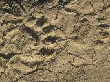 Black Bear Footprints in Mud  Ursus Americanus  North America