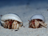 Hermit Crabs on a Sandy Beach (Coenobita)  Maldives  Indian Ocean