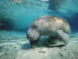 West Indian Manatee  Trichechus Manatus Latirostris  Usa  Florida  Fl  Crystal River