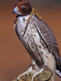 Prairie Falcon  Falco Mexicanus  Hooded for Use in Falconry  North America