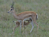 Grant's Gazelle Nursing its Young  Gazella Granti  East Africa