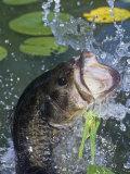 Largemouth Bass  Weedless Jig