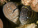 Zebra Moray Eels (Gymnomuraena Zebra)  Hawaii  USA