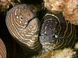 Zebra Moray Eels (Gymnomuraena Zebra)  Hawaii  USA