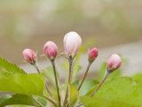 Apple Blossom Buds in the Spring