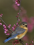 A Female Eastern Bluebird (Sialia Sialis)  Eastern USA