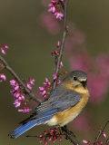 A Female Eastern Bluebird (Sialia Sialis)  Eastern USA