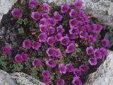 Purple Saxifrage  Saxifraga Oppositifolia  a Tundra Wildflower  Alaska  USA