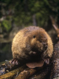 Beaver on Land Near a Pond (Castor Canadensis)  North America