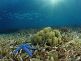Blue Starfish (Linckia)  Corals  and Sea Grass  Indonesia  Sulawesi  Indian Ocean